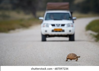 Leopard tortoise, Stigmochelys pardalis crossing gravel path, blurred white safari car in background. Low angle photography. Kgalagadi transfrontier park, South Africa.