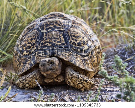 Leopard Tortoise Stigmochelys Pardalis Kalahari South Stock