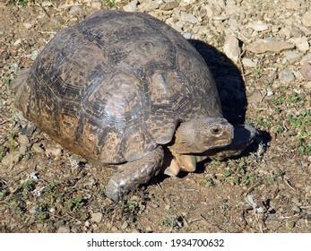 Leopard Tortoise, Stigmochelys pardalis, large adult in the wild, Overberg Klein Karoo region, Western Cape Province, South Africa