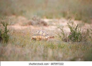 Leopard tortoise, Stigmochelys pardalis in its natural environment, low angle, wildlife photography in Kgalagadi transfrontier park, South Africa.