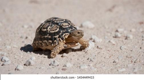 Leopard Tortoise (Stigmochelyspardalis) Kgalagadi Transfortier Park, South Africa