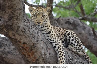 Leopard in tree resting on trunck