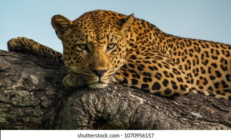 Leopard in a tree in the Sabi sands, South Africa