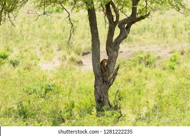"Leopard up a tree (scientific name: Panthera pardus, or ""Chui"" in Swaheli) in the Serengeti/Tarangire, Lake Manyara, Ngorogoro National park, Tanzania"