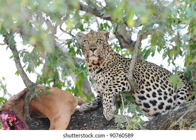 Leopard in a Tree. Seen in The Kruger National Park, South Africa.