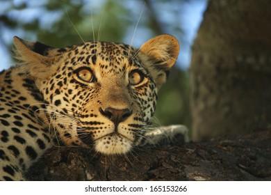 Leopard In Tree Stare