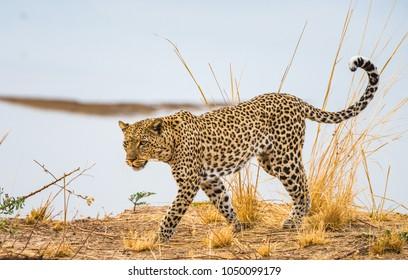 Leopard walking along river bank - Zambia