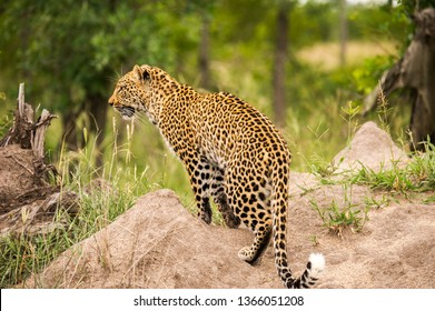 Leopard Walking Amongst Green Grass In A Nature Reserve