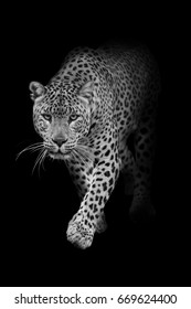 Leopard walking out of the dark into the light, effect of darkness
