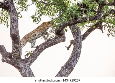 Leopard walking in a tree in Kruger National park, South Africa ; Specie Panthera pardus family of Felidae