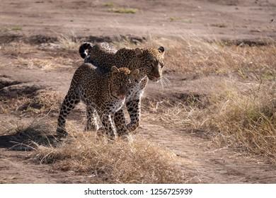 Leopard walks with cub on sandy ground