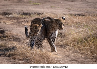 Leopard walks with cub over sandy ground