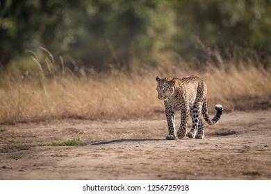 Leopard walks on savannah past long grass