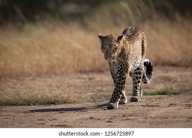 Leopard walks on track past long grass