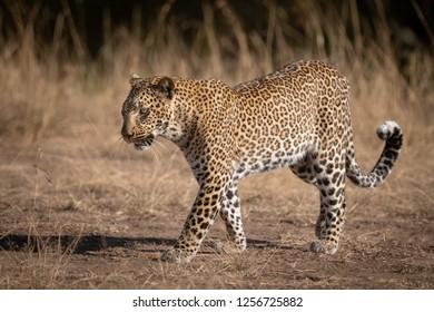 Leopard walks over sandy ground in savannah