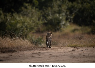 Leopard walks over sandy ground on savannah