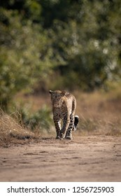 Leopard walks over sandy ground near trees