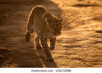 Leopard walks over savannah in golden light