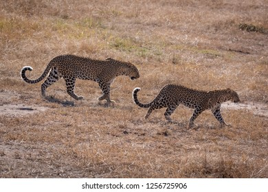 Leopard walks over short grass with cub