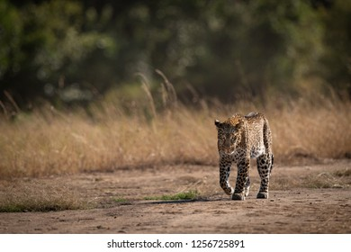 Leopard walks past long grass in savannah