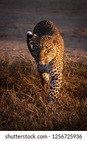 Leopard walks through grass in golden light