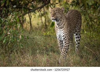 Leopard walks through long grass in trees