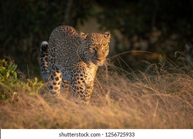 Leopard walks through long grass at dawn