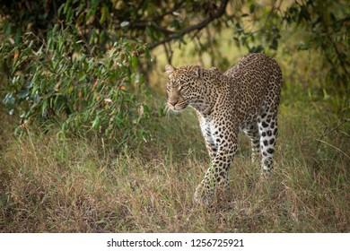 Leopard walks through trees in long grass