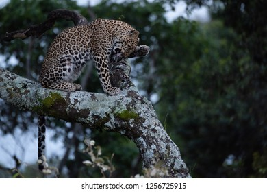 Leopard washes face sitting on lichen-covered branch