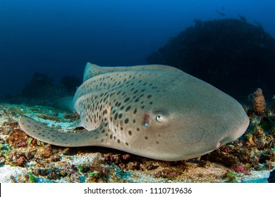 Leopard (Zebra) Shark