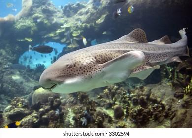 Leopard / Zebra Shark  (Stegostoma fasciatum) and divers swimming over tropical reef