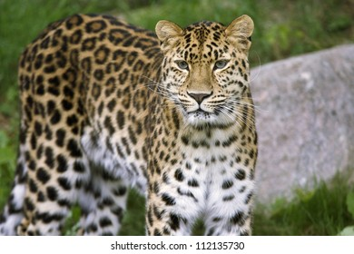 Leopard in zoo, closeup