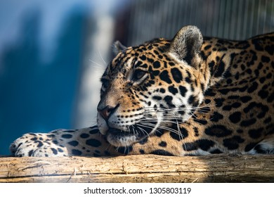 Leopards are graceful and powerful big cats closely related to lions, tigers, and jaguars. They live in sub-Saharan Africa, northeast Africa, Central Asia, India, and China. However, many of their pop