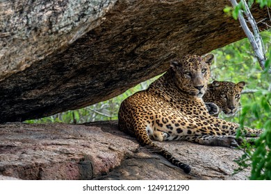 Leopards on a rock. The Female and male of Sri Lankan leopard (Panthera pardus kotiya). Sri Lanka. Yala National Park.