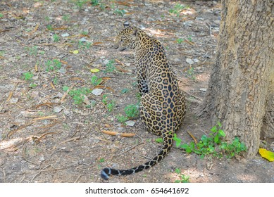 The leopards are sitting under a tree at the zoo in Thailand