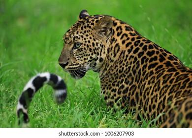 Leopards in Thung Yai-Huai Kha Khaeng Wildlife Sanctuary Kanchanaburi, Tak and Uthai Thani provinces,Thailand