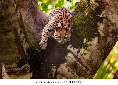 Leopardus wiedii. Felis wiedii. Margai is a wild forest tree cat. Amazon. Ecuador. Forests near the Amazon River. Jungle. Travel around Ecuador.
