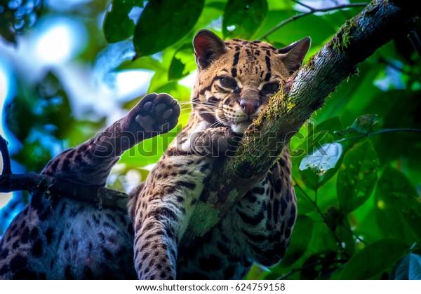Leopardus wiedii. Felis wiedii. Margai is a wild forest tree cat.