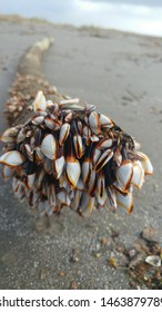 Lepas anatifera aka the pelagic gooseneck barnacle ,smooth gooseneck barnacle, taken in grand isle louisiana