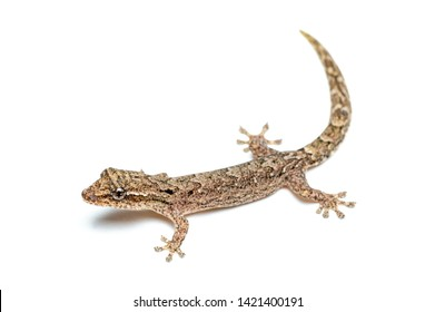 Lepidodactylus lugubris, the mourning gecko, showing scales and camouflaged pattern isolated on a white background