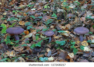 Lepista nuda or wood blewit among the grass in a mixed forest.
