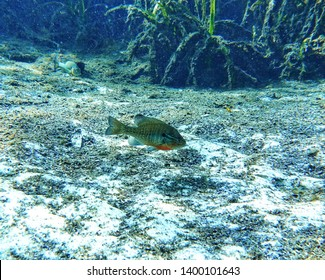 Lepomis macrochirus or bluegill is a species of freshwater fish sometimes referred to as bream, brim, sunny, or copper nose. It's a member of the sunfish family Centrarchidae of the order Perciformes.