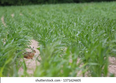 Lepus europaeus - A European hare sitting calmly inbetween rows of lush green corn plants. The maize is just starting to grow in spring, when the hare is very active and searching for food and a mate.