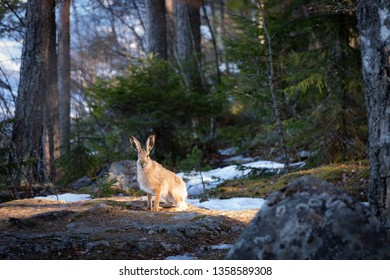 Lepus europaeus in the forest at springtime