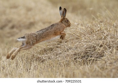 Lepus europaeus-Brown Hare leaping in the wheat field