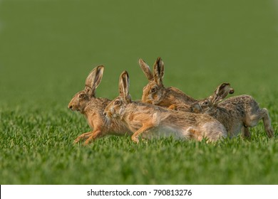 Lepus europaeus-Brown Hare in the wheat field