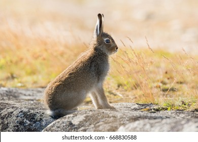 Lepus Timidus. Mountain Hare Close-Up In Summer Pelage, Sits On The Stones Under The Sunlight. Lepus Timidus,Also Known As Tundra Hare, In Summer Color. North Of Russia, Arkhangelsk Region. Wild Hare.