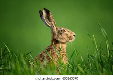 Lepus. Wild European Hare ( Lepus Europaeus ) Close-Up On Green Background. Wild Brown Hare With Yellow Eyes, Sitting On The Green Grass Under The Sun. Muzzle Of European Brown Hare Among Green Wheat