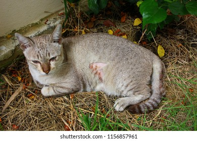 the lesion on brown cat body