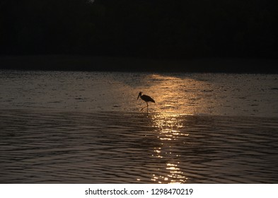 Lesser Adjutant locally called Modontak in Sundarbans , a UNNESCO World Heritage site and wildlife sanctuary in West Bengal,India, the world largest mangrove in the world.